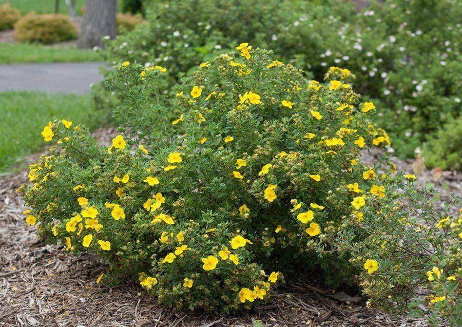 happy face yellow potentilla cinquefoil flowering shrub proven winners 13828